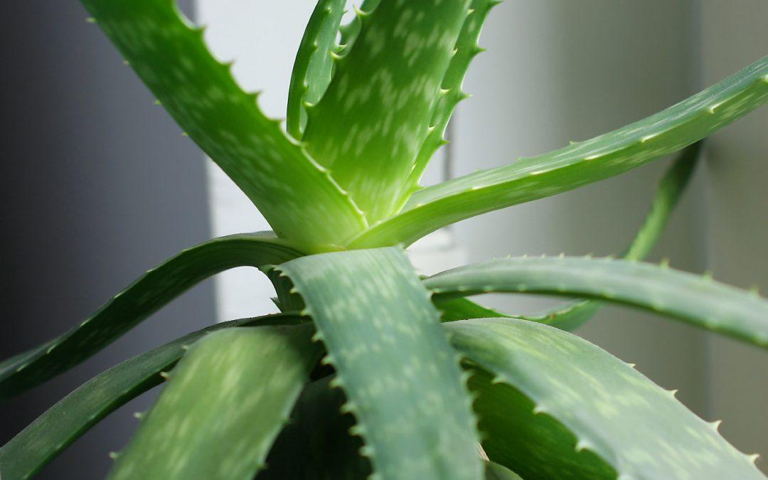 Aloes – dlaczego warto go mieć w domu